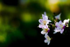 The azalea Royalty Free Stock Photo