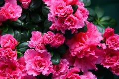 Azalea flowers frame Stock Photos