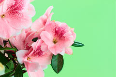 Azalea Stock Photography
