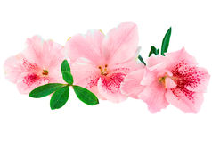 Azalea. Macro of bright pink azalea blooms isolated on a white background. Clipping path included stock images