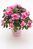 Azalea. Bouquet of Azalea flowers in a vase royalty free stock image