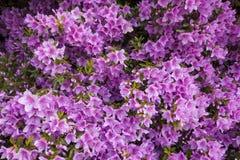 Azalea Foto de archivo libre de regalías