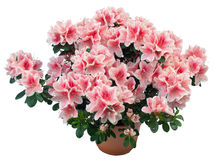 Azalea. Blossoming plant of azalea in flowerpot (isolated, with clipping path royalty free stock image