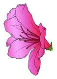 Azalea. A realistic drawing of a pink azalea Royalty Free Stock Photography