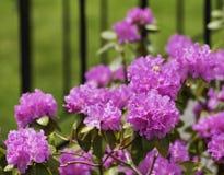 Azalea fotografie stock