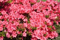 azalea royaltyfri fotografi