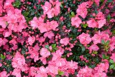 azalea royaltyfria foton