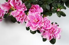 Azalea Royalty Free Stock Photo