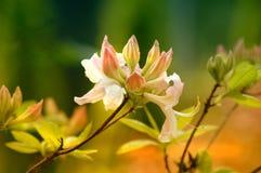 azalea fotografia stock