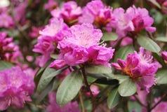 Azalea. Bush blooming in summertime Royalty Free Stock Photo