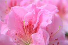 azalea Foto de Stock Royalty Free