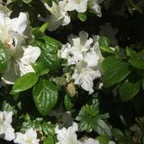 azalea Fotos de archivo