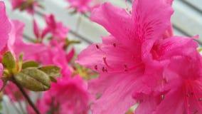 azalea Imagem de Stock Royalty Free