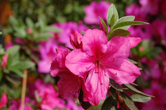 Azalea. Pink Azalea Flower, nature background stock images