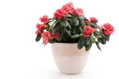 Azalea. Indica in flower pot isolated on white background stock photos