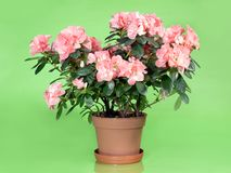 Azalea. Pink azalea flowers in pot over light green background royalty free stock image