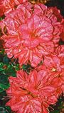 azalea Fotografía de archivo libre de regalías