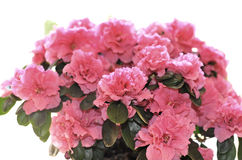Azalea. Close-up of blossoming plant of Azalea in flowerpot isolated on white Stock Images