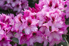 Azalea. Abundance of pink azalea blooms - rhododendron royalty free stock photography