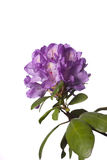 Azalea against white background. Royalty Free Stock Images