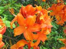 Azalea arancio Fotografia Stock