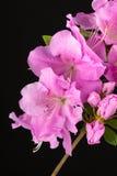 Azalea  Autumn Lilac Encore flowers Royalty Free Stock Photos