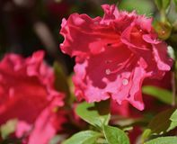 Azalea. S blooming in spring time Stock Images
