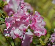 Azalea. S blooming in spring time Royalty Free Stock Photo