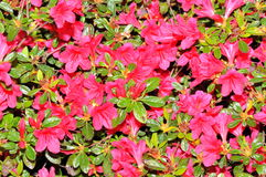 Azalea background Stock Photo