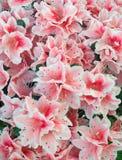 Azalea background. Part of blossoming azalea plant (pink flowers Royalty Free Stock Photography
