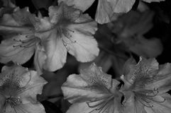 Azalea background in black and white Royalty Free Stock Image