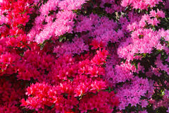 Azalea Background Stock Photography