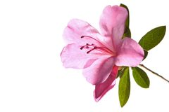 Azalea Backlit. Pink 'Azalea' lit from behind, isolated on white stock photo