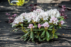 Azalea and barrier weed sheet Stock Images
