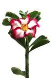 Azalea Beautiful Red blommor Royaltyfri Foto