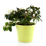 Azalea blanca Imagen de archivo libre de regalías