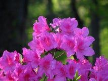 Azalea Bloom Royaltyfri Bild