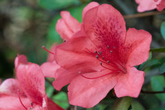 Azalea Bloom Stock Photo