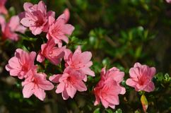 Azalea blooming. Azaleas blooming in spring time Royalty Free Stock Images