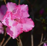 Azalea blooming. Azaleas blooming in spring time Royalty Free Stock Photo
