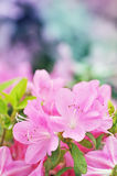 Azalea blooming Stock Photo