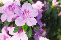 Azalea blooming pink flowers Stock Photography