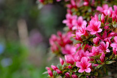 Azalea blooming pink and purple spring flowers. Gardening.  Stock Photography