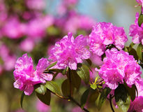 Azalea blooming, pink Rhododendron flower Royalty Free Stock Photos