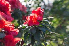 Azalea blooming red spring flowers. Blooming branch of red azaleas Stock Image