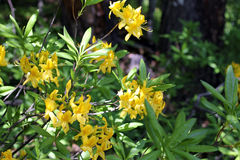 Azalea blooming in the summer Stock Photos