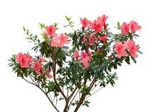 Azalea blooming on tree Royalty Free Stock Photography
