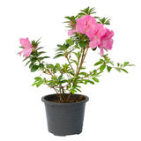 Azalea blooming on tree royalty free stock photography