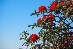 Azalea blooming on tree stock photos