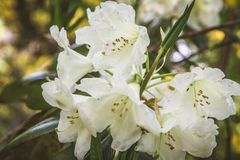 Azalea. Blooming with white flowers royalty free stock image